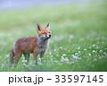 キタキツネ 子ギツネ 狐の写真 33597145