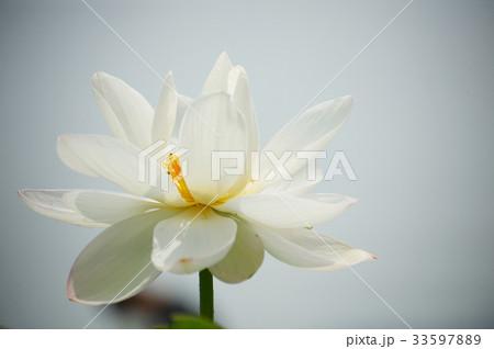 花 植物 蓮の写真素材 [33597889] - PIXTA