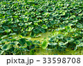 緑 緑色 植物の写真 33598708