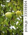 フルーツ 果物 カリンの写真 33598904
