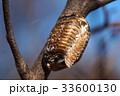 カマキリ 蟷螂 ハラビロカマキリの写真 33600130
