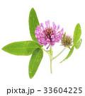 花 植物 アカツメクサの写真 33604225