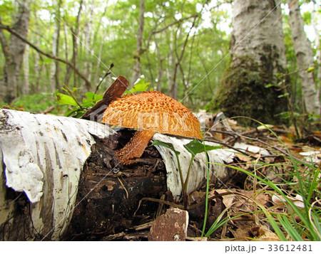ツノシメジ、白樺林のキノコ 33612481