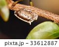 カマキリ 蟷螂 ハラビロカマキリの写真 33612887