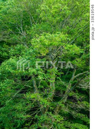 欅の巨樹、日本の宗教的な樹木。 33619546