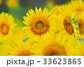 ヒマワリ 花 蜜蜂の写真 33623865