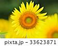 満開のヒマワリと蜜蜂(N) 33623871