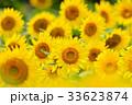満開のヒマワリと蜜蜂(N) 33623874