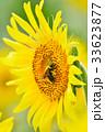 満開のヒマワリと蜜蜂(N) 33623877