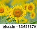 満開のヒマワリと蜜蜂(N) 33623879
