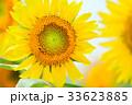 満開のヒマワリと蜜蜂(N) 33623885