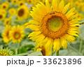 満開のヒマワリと蜜蜂(N) 33623896