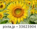 満開のヒマワリと蜜蜂(N) 33623904