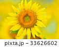 満開のヒマワリ(N) 33626602