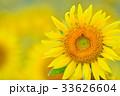 満開のヒマワリ(N) 33626604
