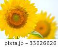 満開のヒマワリ(N) 33626626