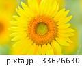 満開のヒマワリ(N) 33626630