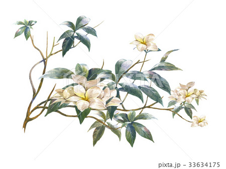 watercolor painting of leaves and flower, on whiteのイラスト素材 [33634175] - PIXTA