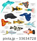 サカナ 魚 魚類のイラスト 33634728