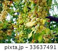 銀杏 イチョウの木 33637491