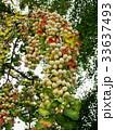 銀杏 イチョウの木 33637493