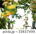 銀杏 イチョウの木 33637494