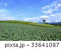嬬恋村 キャベツ畑 畑の写真 33641087