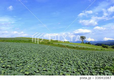 嬬恋村のキャベツ畑 33641087