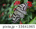オオゴマダラ 33641965