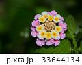 ランタナ 植物 クマツヅラ科の写真 33644134