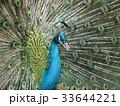 孔雀 鳥 鳥類の写真 33644221