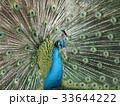 孔雀 鳥 鳥類の写真 33644222