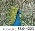 孔雀 鳥 鳥類の写真 33644223
