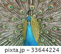 羽根を広げた孔雀 33644224