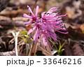 春山の花 ショウジョウバカマ 33646216