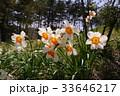 野に咲くスイセン 33646217