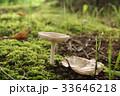 森のキノコ 待つ 33646218