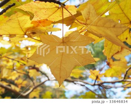 黄色な紅葉 33646834