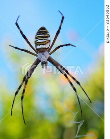 蜘蛛 33646862