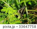 蝶 昆虫 虫の写真 33647758