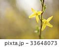 レンギョウ 花 黄色の写真 33648073