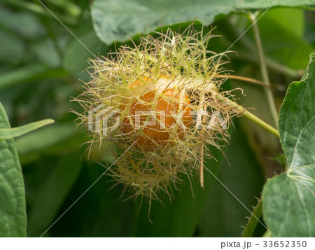 Scarletfruit passionflower, Stinking passionflower 33652350