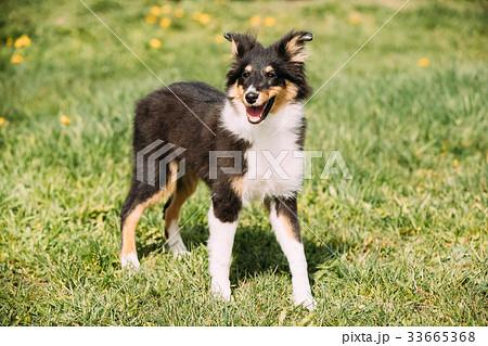 young happy smiling shetland sheepdog sheltieの写真素材 33665368