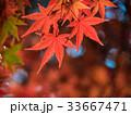 鮮やかな紅葉 33667471