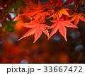 紅葉 イロハモミジ 楓の写真 33667472