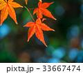 イロハモミジ 楓 紅葉の写真 33667474
