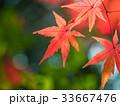 イロハモミジ 楓 紅葉の写真 33667476