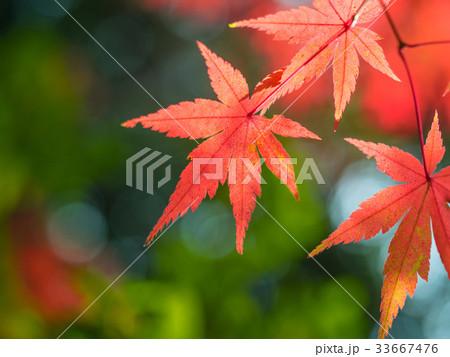 鮮やかな紅葉 33667476
