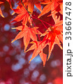 紅葉 イロハモミジ 楓の写真 33667478