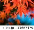 紅葉 イロハモミジ 楓の写真 33667479